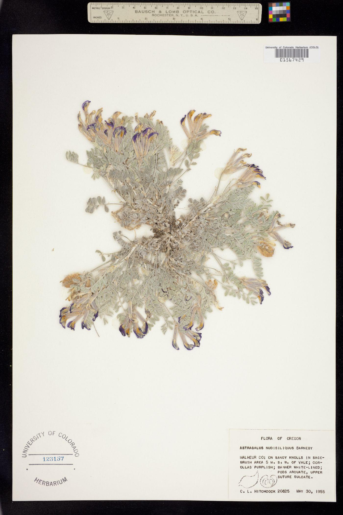 Astragalus nudisiliquus image