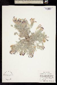 Image of Astragalus nudisiliquus
