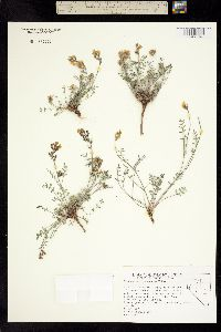 Image of Astragalus obscurus