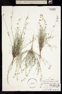 Image of Astragalus owyheensis