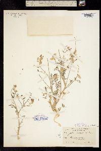 Image of Astragalus palmeri