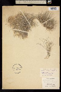 Image of Astragalus panamintensis