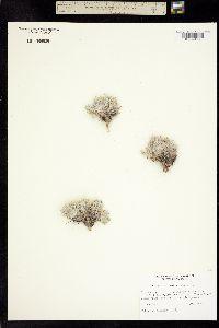 Image of Astragalus proimanthus