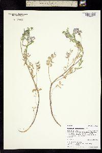 Image of Astragalus pubentissimus