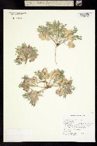 Image of Astragalus pulsiferae
