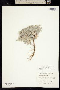 Astragalus purshii image