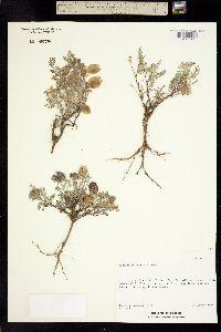 Image of Astragalus perianus