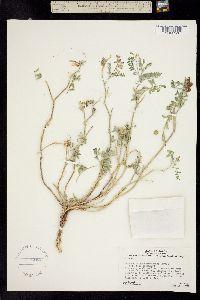 Image of Astragalus pseudiodanthus