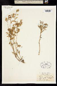 Image of Astragalus robbinsii