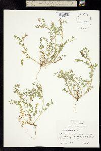 Image of Astragalus reflexus