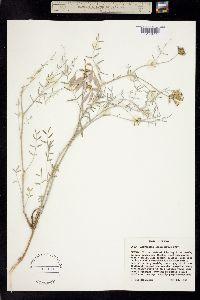 Astragalus sclerocarpus image
