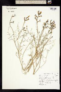 Image of Astragalus serenoi