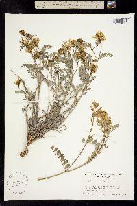 Image of Astragalus sinuatus