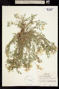 Image of Astragalus soxmaniorum