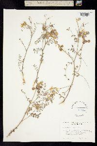 Image of Astragalus speirocarpus