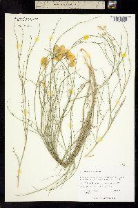 Image of Astragalus sterilis