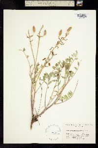 Image of Astragalus scaphoides