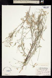 Image of Astragalus solitarius