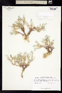 Image of Astragalus sophoroides