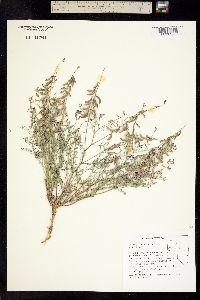 Image of Astragalus straturensis