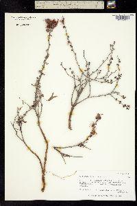 Calliandra eriophylla image