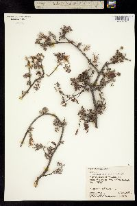 Calliandra hirsuta image