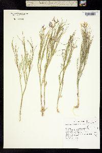 Astragalus toanus image