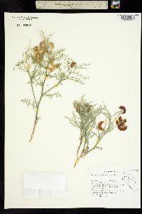 Image of Astragalus tetrapterus