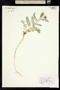 Image of Astragalus tibetanus