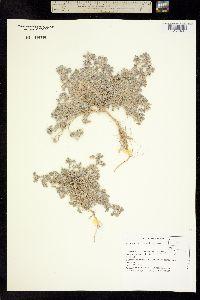 Astragalus tiehmii image