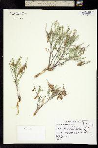 Image of Astragalus toquimanus