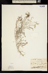 Image of Astragalus traskiae