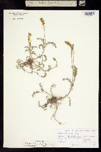Astragalus vaccarum image