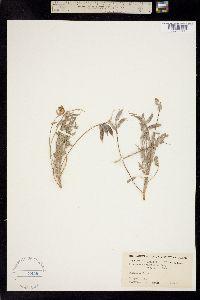 Image of Astragalus wrightii