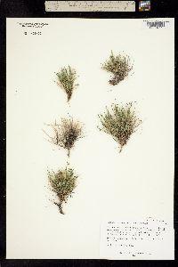 Image of Astragalus yoder-williamsii