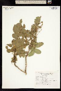 Ateleia arsenii image