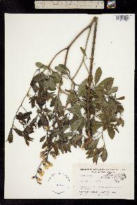 Image of Baptisia alba