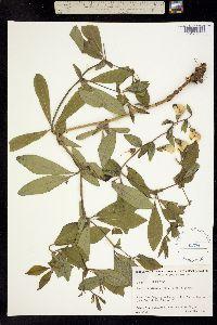 Image of Baptisia cinerea