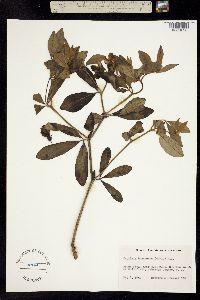 Image of Baptisia bracteata