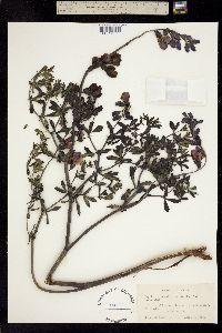 Image of Baptisia australis