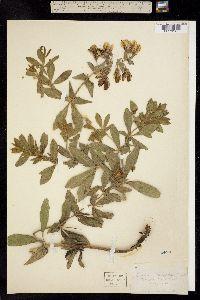 Baptisia bracteata var. leucophaea image