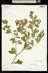 Image of Baptisia nuttalliana