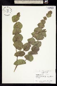 Baptisia perfoliata image