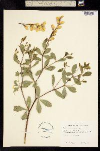 Image of Baptisia sphaerocarpa