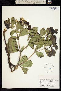 Image of Baptisia leucophaea