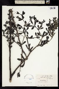 Image of Baptisia minor