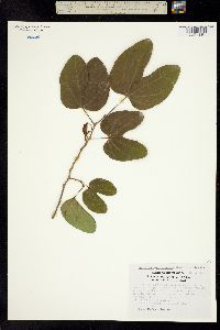 Image of Bauhinia macranthera