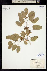 Image of Bauhinia lunarioides