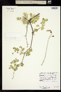 Image of Caesalpinia californica