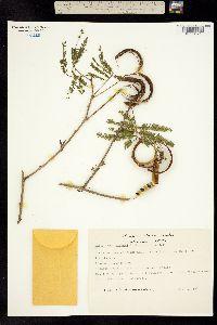 Calliandra spraguei image